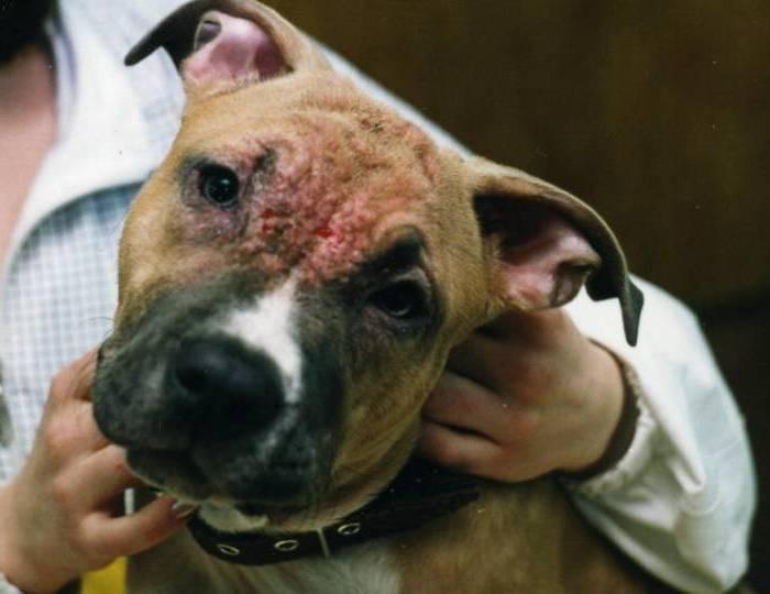 1903. Демодекоз собак - этиология, патогенез и лечение.  Демодекоз - паразитарная болезнь, вызываемая клещом Demodex...